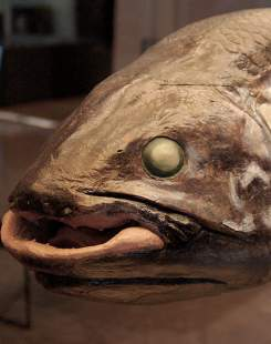 coelacanthe musee fossile