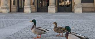 Des canards se baladent dans les rues de Paris, vides, lors du confinement en avril 2020.